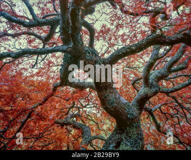 Fin Automne, Érable Japonais, Jardin De Fern Canyon, Mill Valley Banque D'Images