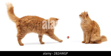 chat rouge doux adulte joue avec une balle rouge et chat mignon s'asseoir et regarder, animal isolé sur fond blanc.