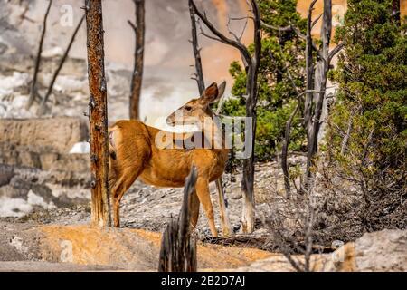 Cerf Mule Sur Les Terrasses De Mammoth, Parc National De Yellowstone