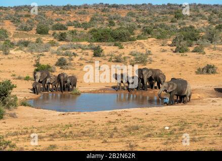 Troupeau d'éléphants d'afrique se rafraîchissant dans un trou d'eau dans le paysage aride du parc national Addo Elephant, Cap oriental, Afrique du Sud Banque D'Images