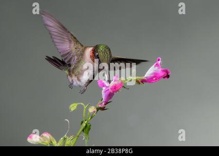Un Nectar de rassemblement d'colibris à gorge rubis