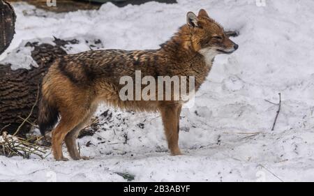 Golden Jackal (canis aureus) regardant à droite avec fond de neige