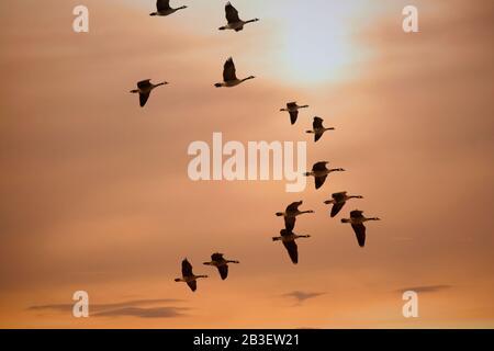 Oies Flock Flying Au Coucher Du Soleil Pendant La Migration Banque D'Images