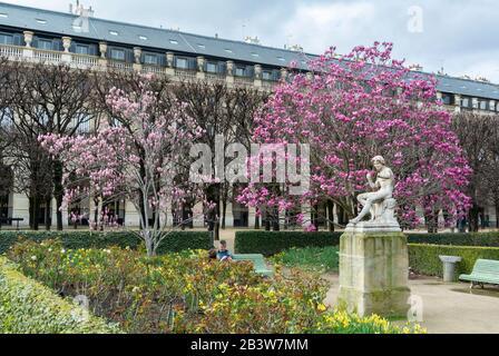 Jardin du Palais Royal aux fleurs de magnolia violettes fleuries au printemps, Paris, France