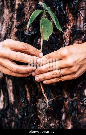 Sauver la planète terre - pas de concept de déforestation - la vie après la combustion de feu de bois - les mains humaines. Tenir un peu nouveau treenear un pin brûlé pour dire avoir soin de notre monde Banque D'Images