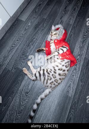 jeune chat bengal noir tabby rosé couché sur le sol portant une veste d'hiver rouge avec fausse fourrure regardant vers le haut