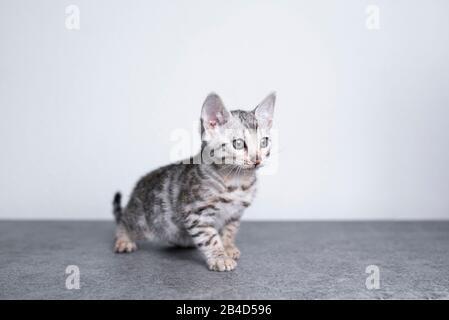 8 semaines de vieux chaton noir argenté tabby rosé bengale debout sur le sol en béton devant le mur blanc regardant tout droit devant Banque D'Images