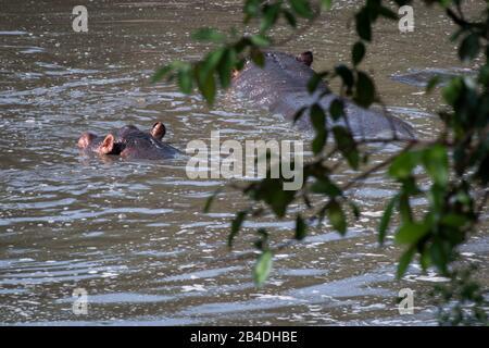 Tanzanie, Nord de la Tanzanie, Parc national du Serengeti, cratère de Ngorongoro, Tarangire, Arusha et lac Manyara, deux hippopotames dans l'eau, l'amphibius d'Hippopotamus Banque D'Images
