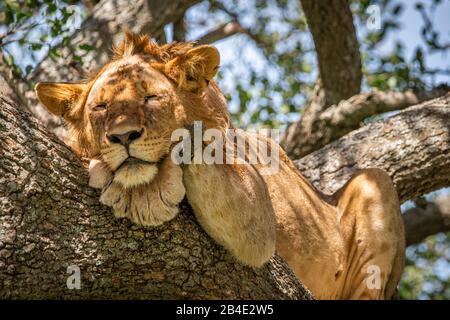 Un safari à pied, tente et jeep dans le nord de la Tanzanie à la fin de la saison des pluies en mai. Parcs Nationaux Serengeti, Cratère Ngorongoro, Tarangire, Arusha Et Le Lac Manyara. Lions grimpant des arbres et dormir là ... - dans le Serengeti.