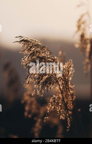 Herbes en contre-jour en automne, gros plan