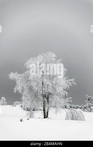 Allemagne, Bade-Wuerttemberg, route surélevée de la Forêt Noire, Schliffkopf, bouleau couvert de neige et verglas dans le parc national de la Forêt Noire