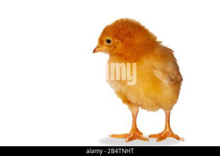 poulet rouge sur fond blanc Banque D'Images