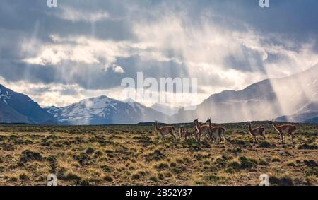 Un troupeau de wanaco coule librement dans le Parque Nacional Perito Moreno avec les Andes comme toile de fond, la Patagonie Argentine
