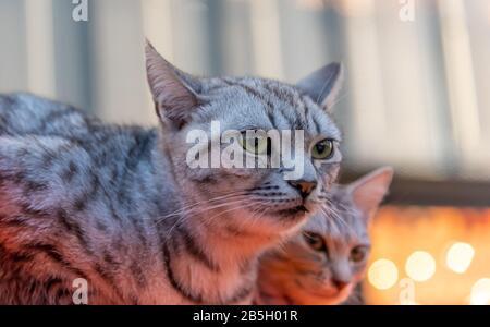 Portrait de jolis chats couple, gros plan avec fond flou
