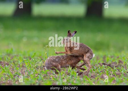 Le lièvre brun européen (Lepus europaeus) lutte Banque D'Images