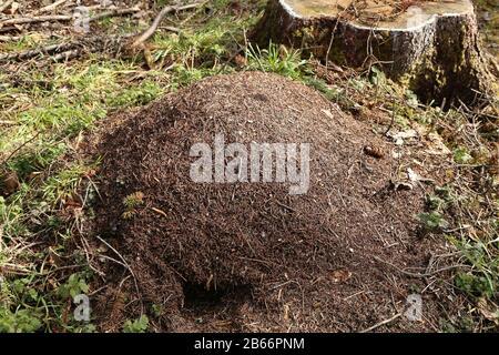 Grand anthill dans la forêt parmi les arbres.