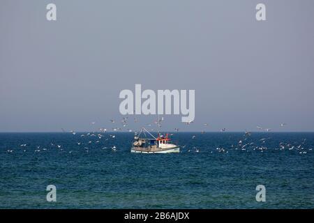 Bateau de pêche / coupeuse naviguant sur la mer Baltique et suivi par troupeau de mouettes, Mecklembourg-Poméranie occidentale, Allemagne