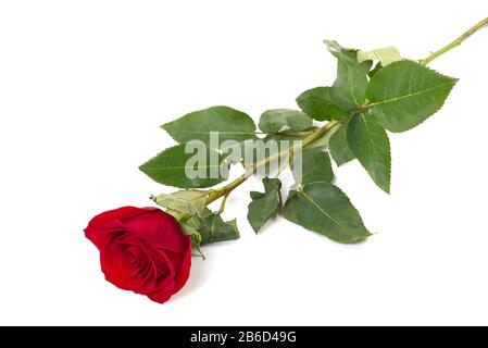 Une simple rose rouge posée sur un fond blanc, isolée avec ombre Banque D'Images