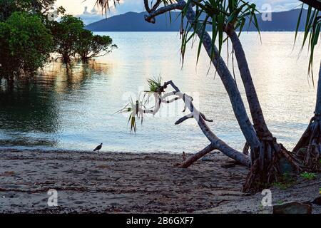 La lumière dorée du lever du soleil tombe sur l'eau parmi les mangroves comme un mouette se dresse sous un arbre côtier près du bord de l'eau Banque D'Images