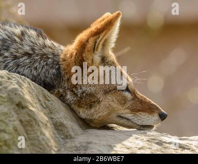 Portrait latéral du chacal à dos noir (Canis mesomelas) posé sur les oreilles de roche vers l'avant dans le zoo Banque D'Images