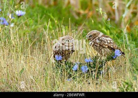 La petite chouette (Athene noctua) aime aussi marcher sur le terrain à la recherche de nourriture.