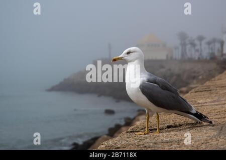 Seagull sur la promenade de Cadix