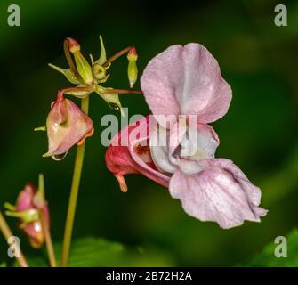 Balsam himalayenne rose, Kiss-me-sur-la-montagne, Helmet de Polideman, Tops Bobby, Tops de cuivre, ou Hatstand de Gnome (impatiens glandulifera royle) fleur