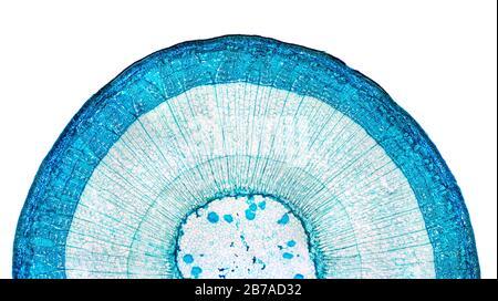 Tige de dicotylédon de bois, demi-section sous microscope. Lame de microscope léger avec microsection d'une tige en bois avec faisceaux vasculaires.