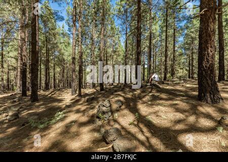 Forêt de pins près du volcan Arenas Negras. Ciel bleu vif et nuages blancs. Le jeune voyageur est assis sur une pierre a un déjeuner et repose. Tenerife, CAN