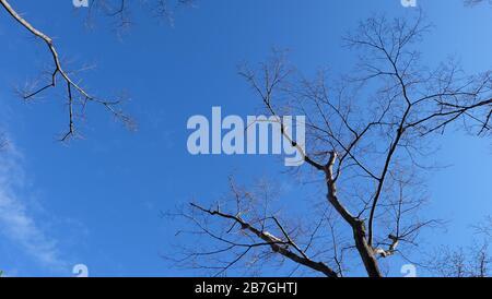 Regardant vers le ciel, avec des arbres nus et des branches s'étirant, avec ciel d'hiver clair en arrière-plan. Banque D'Images
