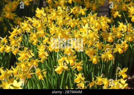Gros plan sur une masse de jonquilles à fleurs de printemps à tete jaune dans une bordure de fleur Banque D'Images