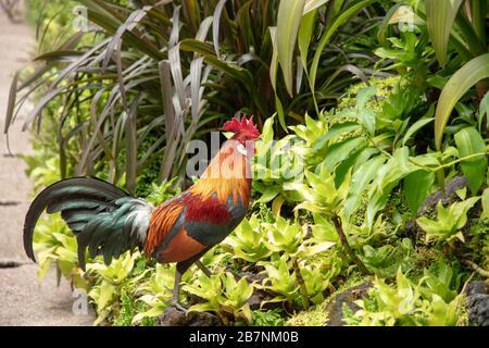 Jardin botanique de Singapour, le Wild Red Jungle Rooster est visible. Banque D'Images