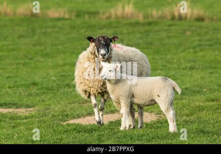 La mule de Swaledale, une femelle brebis avec de l'agneau bien cultivé dans le pâturage, face vers l'avant. Printemps. Yorkshire Dales, Royaume-Uni. Horizontal. Espace de copie. Banque D'Images