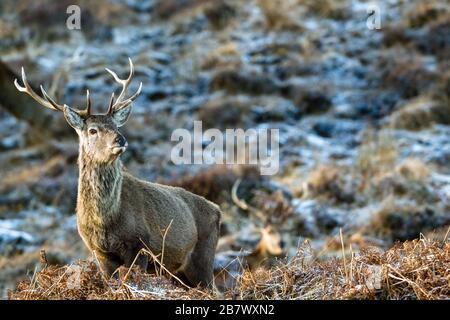 Le cerf rouge mâle Cervus elaphus stags dans les hautes terres d'hiver de l'Écosse Banque D'Images