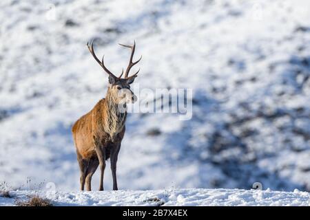Cerf rouge Cervus elaphus mâle stag debout sur une colline dans la neige dans les Highlands d'Écosse Banque D'Images
