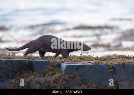 Une loutre eurasienne (lutra lutra) sur terre sèche à côté d'un loch maritime, sur l'île de Mull, en Écosse.