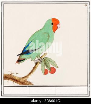 Oiseau à tête rouge (15961610) par Anselmus Botius de Boodt.jpg - 2B8601G