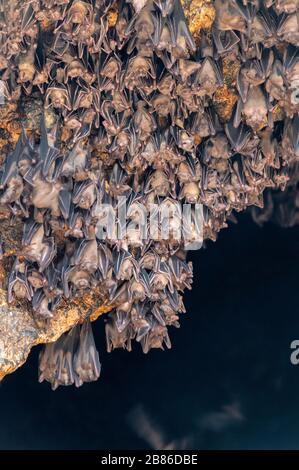 Grotte de chauves-souris avec des centaines de chauves-souris de la Pura Goa Lawah à Bali, Indonésie Banque D'Images