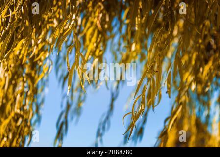 feuilles de saule saules jaunes qui s'assèchent à l'automne Banque D'Images