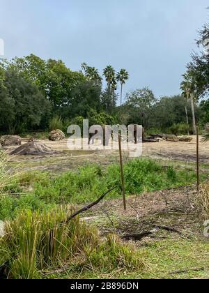 Éléphants d'Afrique dans un zoo qui sont des éléphants du genre Loxodonta. Le genre se compose de deux espèces existantes : l'éléphant de brousse africain, L. africana Banque D'Images