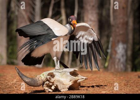 Un roi Vulture perçant sur le crâne Banque D'Images
