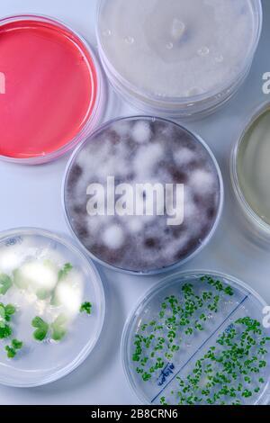 Culture microbiologique dans un plat de Petri pour la recherche sur la bioscience pharmaceutique. Concept de la science, du laboratoire et de l'étude des maladies. Coronavirus (COV