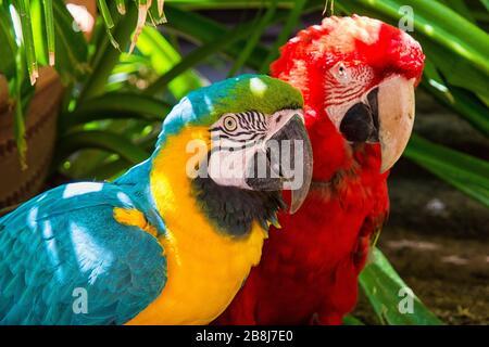une paire colorée de perroquets Banque D'Images