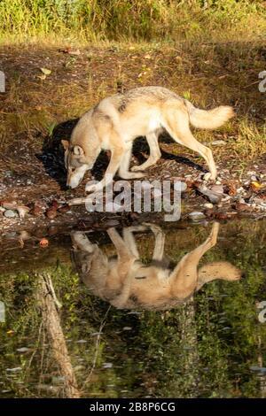 Bois de loup le long d'une prise d'eau à Triple D au Montana