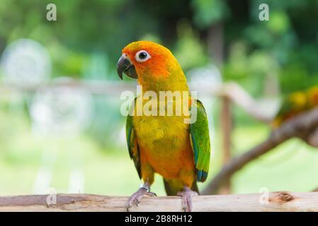 Lovebird ou perroquet debout sur l'arbre dans le parc, Agapornis fischeri. (Lovebird de Fischer) Banque D'Images