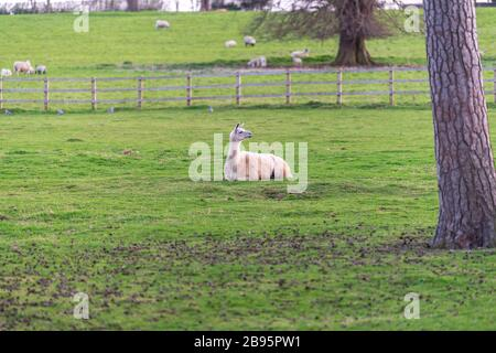 La magnifique Alpacas se balader sur le terrain. Banque D'Images