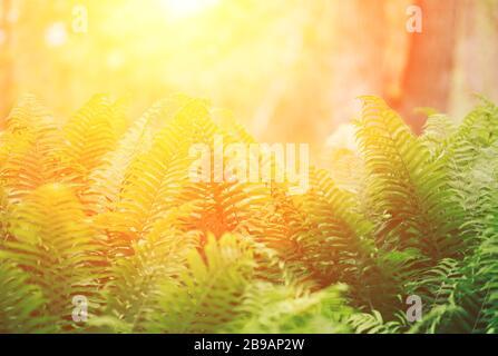 Magnifique feuillage vert feuilles fougères fougère Fleurs naturelles au soleil d'arrière-plan Banque D'Images