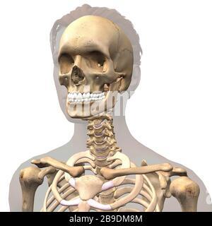 Illustration tridimensionnelle du crâne féminin, des épaules et de la colonne vertébrale à l'intérieur du contour gris. Banque D'Images