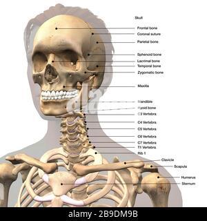 Illustration médicale marquée du crâne, des épaules et de la colonne vertébrale de la femme. Banque D'Images