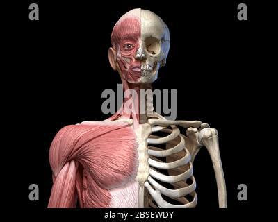 Vue avant du squelette de torse humain avec des muscles, sur fond noir. Banque D'Images